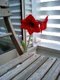 咲きました大輪の花